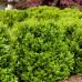 Самшит вечнозеленый Глаука