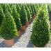 Самшит вечнозеленый сформированный Конусом