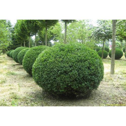 Самшит вечнозеленый rotundifolia