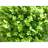Самшит вечнозеленый suffruticosa