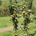 Колоновидная груша «Декора»