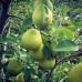 Колоновидная груша «Северянка»
