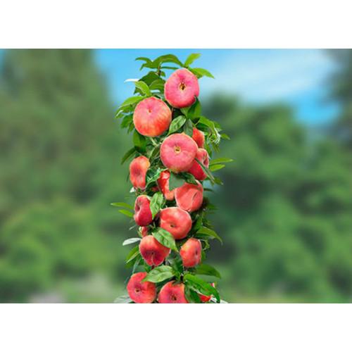 Колоновидный персик «Инжирный»