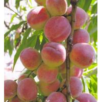 Колоновидный персик «Роман»