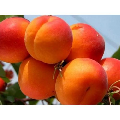 Колоновидный персик «Юбилей столицы»