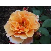 Роза английская «Арабия»