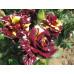 Роза кустовая «Абракадабра»
