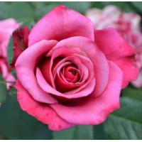 Роза кустовая «Амалия»