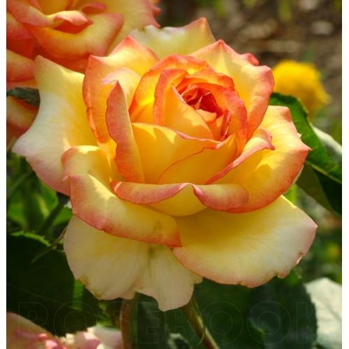 Роза кустовая «Амбианс»