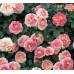 Роза плетистая «Цезарь»