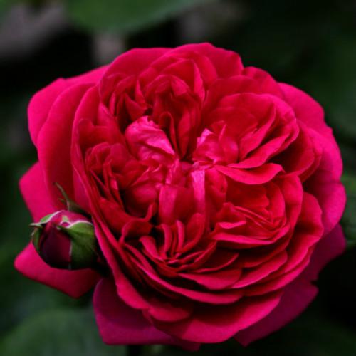 Роза английская «Дарк Леди»