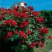 Роза плетистая «Дон Жуан»