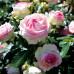 Роза плетистая «Эден Роуз»