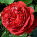 Роза плетистая «Эрик Таберли»