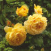 Роза английская «Голден Селебрейшен»