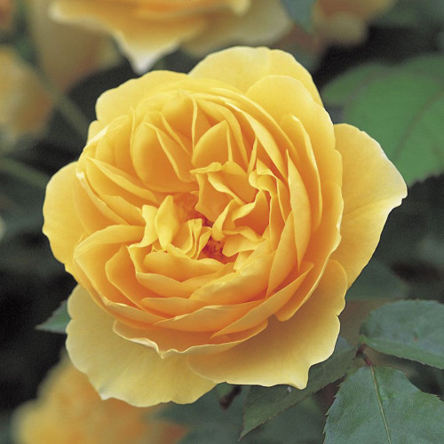 Роза английская «Грэхэм Томас»