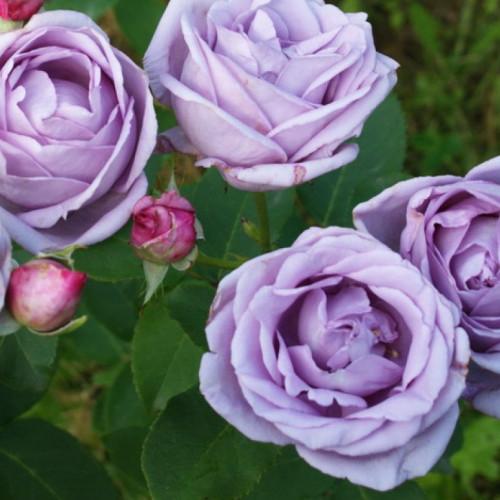 Роза плетистая «Индиголетта»