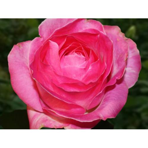 Роза кустовая «Кэнди Аваланж»