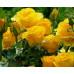 Роза кустовая «Керио»
