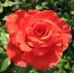 Роза кустовая «Корвет»