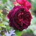Роза английская «Манстед Вуд»
