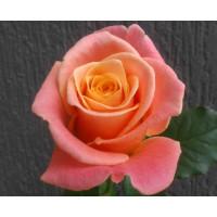 Роза кустовая «Мисс Пигги»