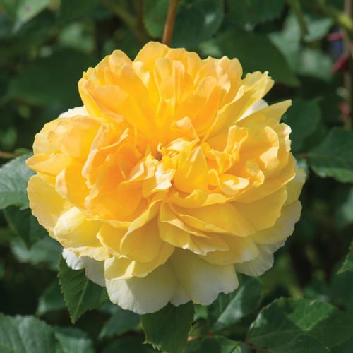 Роза английская «Мулинекс»