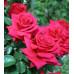 Роза кустовая «Нешнл Траст»