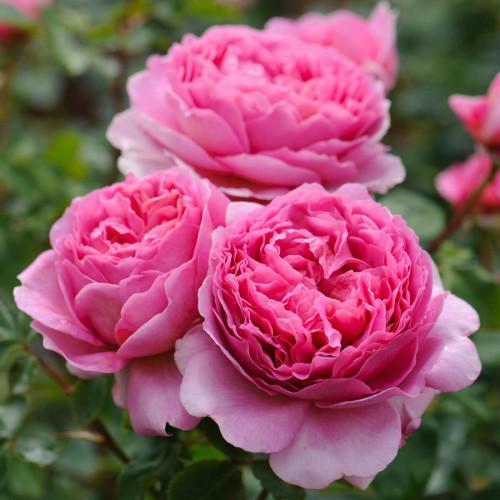 Роза английская «Принцесса Александра оф Кент»