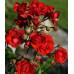 Роза плетистая «Ред Фейри»
