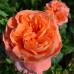 Роза кустовая «Рене Госсини»