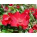 Роза кустовая «Робуста»
