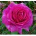 Роза кустовая «Саманта»