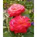 Роза кустовая «Серенада»