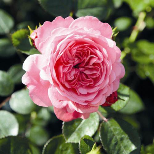 Роза плетистая «Скарлет Роуз Ева»