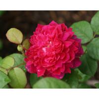 Роза английская «Софи Роуз»