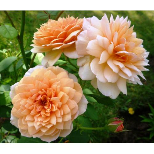 Роза английская «Грейс»