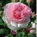 Роза английская «Джеймс Галвей»