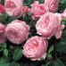 Роза английская «Спирит оф Фридом»