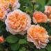 Роза английская «Зе Леди Гарденер»