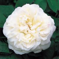 Роза английская «Винчестер Кэсидрал»