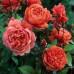 Роза английская «Саммер Сонг»