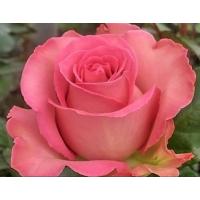 Роза кустовая «Свит Юник»