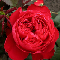 Роза английская «Травиата»
