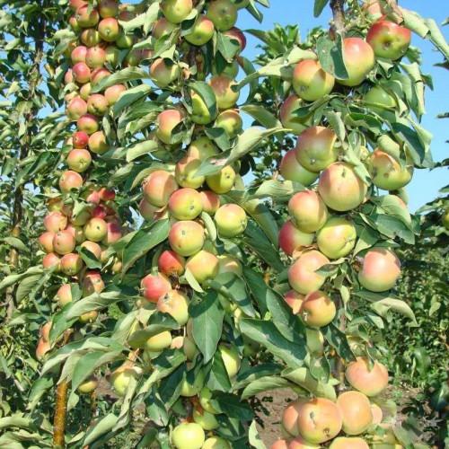 Колоновидная яблоня «Болеро»