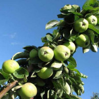 Колоновидная яблоня «Чебурашка»