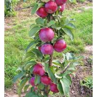 Колоновидная яблоня «Джин»