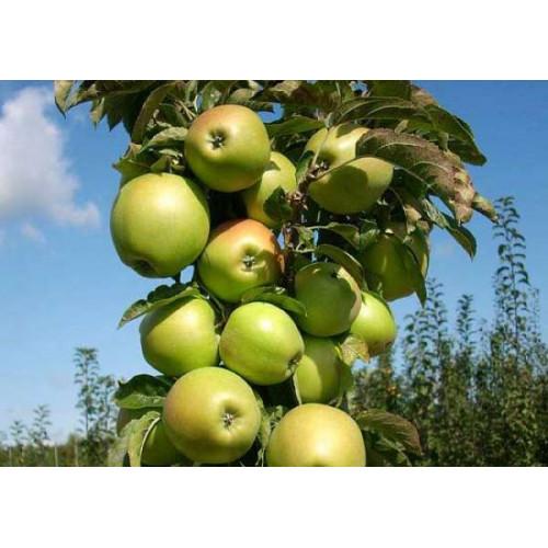 Колоновидная яблоня «Гирлянда»