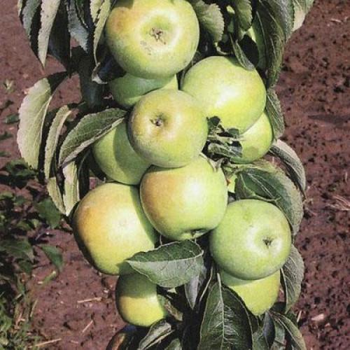 """Колоновидная яблоня """"Икша"""""""