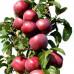 Колоновидная яблоня «Конференция»
